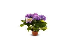 Lilac Beautiful Flowers In A Pot Isolated On White Background With Clipping Path