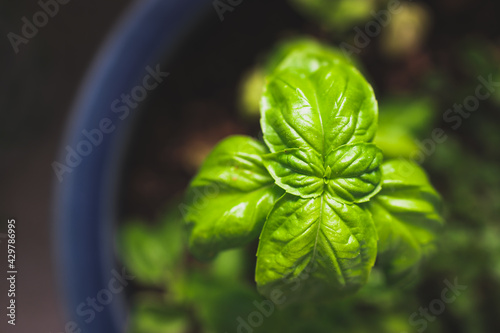 Canvas Print close-up of basil plant in blue pot