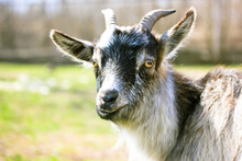 A Domestic Black White American Pygmy. Portrait Of A Goat With Long Horns And Yellow Eyes Against A Background Of Green Meadow Grass On A Sunny Summer Day. Animals On A Farm. Warm Cinematic Filter.