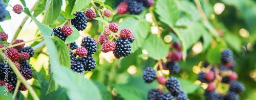Blackberries grow in the garden. Ripe and unripe blackberries on a bush. - fototapety na wymiar
