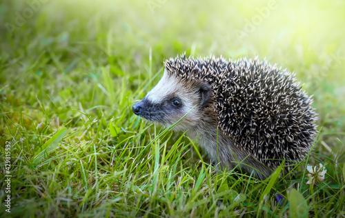 Fotografia West european hedgehog on a green grass