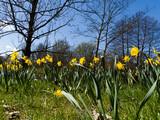 Wiosenne kwiaty, żonkile, tulipany i storczyki