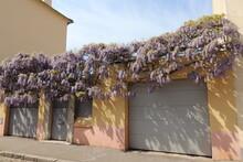 Glycine En Fleur Au Printemps Le Long D'une Maison, Dans Le Quartier De Montchat, Ville De Lyon, Département Du Rhône, France