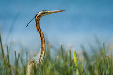 Great Purple Heron