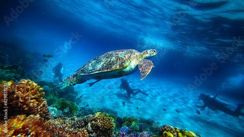 Obraz na plátně turtle swims underwater