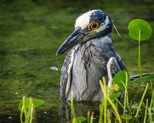 Yellow-crowned Night-Heron Ina Shallow Pool Of Water_June 2018!