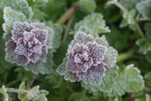 Lamium Purpureum,  (red Dead-nettle) Flowers Covered With Hoarfrost Closeup