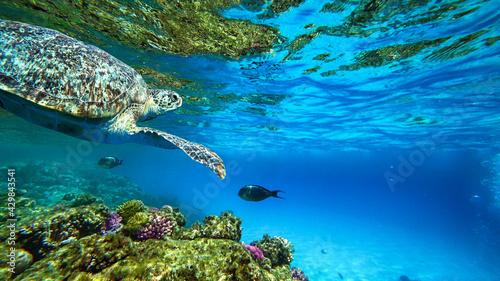 Fotografie, Obraz turtle swims