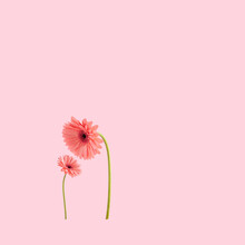 Two Beautiful Pink Gerbera Daisy Flowers On A Pastel Pink Background. Happy Mother's Day Creative Minimal Concept.