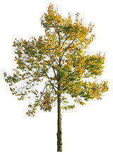 Autumnal Maple Tree, Isolated Tree On White Background With Clipping Path