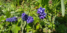 Closeup Of Common Grape Hyacinth Flowers Growing In The Garden