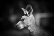 Kangaroo In The Park In Australia. High Quality Photo