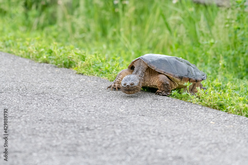 Obraz na plátně Snapping turtle crossing a bike path in summer - a prehistoric looking turtle