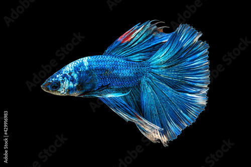 Fototapeta Movement beautiful of colorful siamese betta fish or half moon betta splendens fighting fish in thailand on black color background