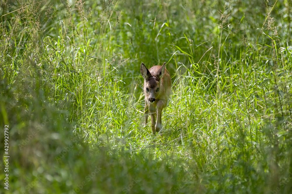 Fototapeta Sarenka wśród zielonych traw.