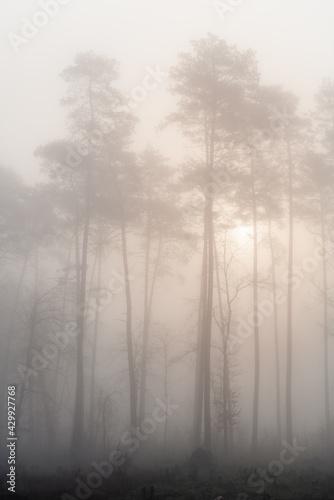 Sosny we mgle - fototapety na wymiar