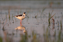 Black-winged Stilt - Himantopus Himantopus Wading In The Water, Red Legs Black And White Wader