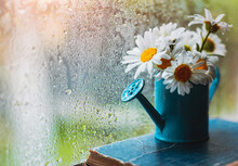 Decorative Watering Can Vase With Wildflowers White Daisies On The Village Wet Window In The Drops After The Summer Rain In Spring.