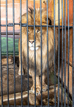 Portrait Of A Lion In A Cage At The Zoo.