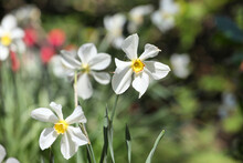 White And Yellow Miniature Daffodils 'PoetÕs Narcissus' In Flower