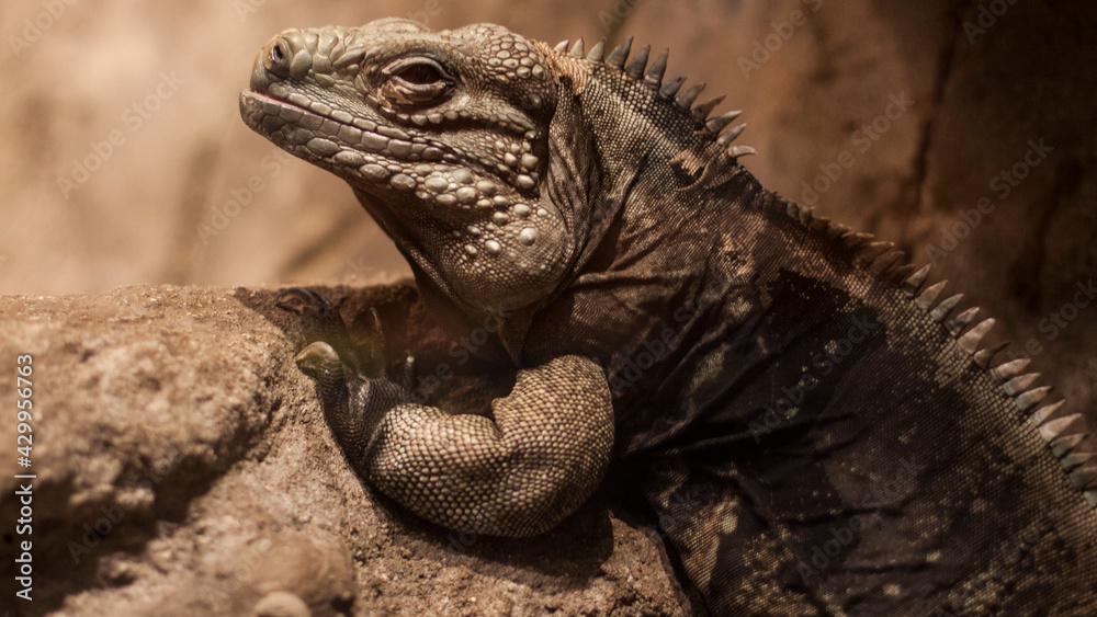 Fototapeta Jaszczurka, gad, egzotyczne zwierzęta