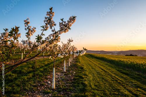 Obraz na płótnie cherry orchard