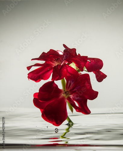 Obraz Czerwony kwiat, natura, woda - fototapety do salonu