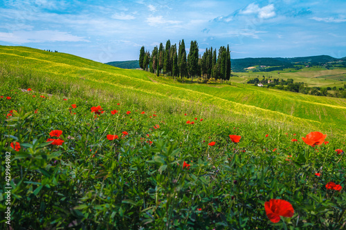 Fototapeta premium Tuscany summer scenery with cypress trees and flowery fields