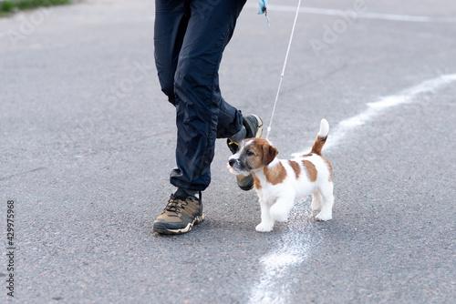 Fotografie, Tablou Cute little puppy on its hind legs