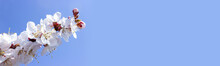 Branches Of Cherry Blossoms On A Blue Background. Banner. Selective Focus. Copyspace.