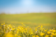 Beautiful View Of A Countryside With Flower Meadows And Blue Sky In Background. Spring In The Country With Nature All Around. Outdoors, Relax, Summer, Natural Concept. Crocodile View Of Yellow Flowers