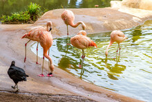 Flamingos Walking Around A Beautiful Lake Photographed With A Zoom Lens