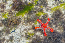 Colorful African Red-knobbed Sea Star At Low Tide On Wet Sand, Zanzibar Island