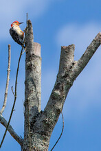 Red Bellied Woodpecker Perched On Branch