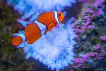 Closeup Of A Beautiful Clownfish Swimming In The Fish Tank