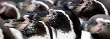 Closeup Of A Group Of Humboldt Penguins (Spheniscus Humboldti) Background