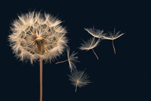 Dandelion Seeds Fly From A Flower On A Dark Background. Botany And Bloom Growth Propagation.