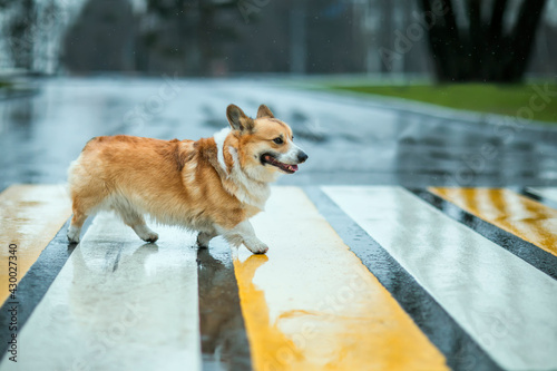 Fototapeta premium funny corgi dog puppy crossing the road at a pedestrian crossing on a rainy day and smiling