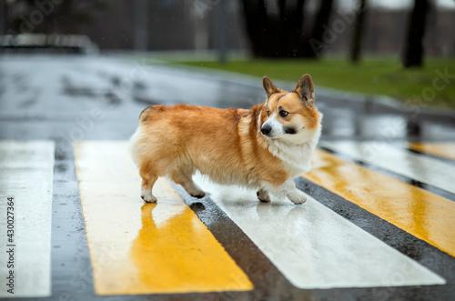 Fototapeta premium funny corgi dog puppy crosses the road at a pedestrian crossing on a rainy day