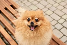 Cute Friendly Face Of Pomeranian Spitz Sitting On A Bench. Selective Focus. Copy Space.