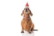 Brown Dachshund Dog With Red Christmas Hat Looking At Camera Isolated Over White Background