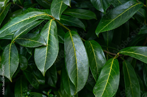 Cherry laurel plant with green oily leaves, prunus laurocerasus plant in spring time.