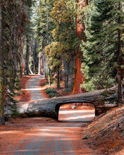 Landscape Of Tunnel Log At Sequoia National Park In The Forest With Trees Amongst Nature.