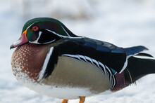 A Single Aquatic Wood Duck Swims In Calm Blue Water. There's A Reflection Of The Duck And The Water Has Circular Waves Around It. The Woodie Has A Green Crested Head With A Chestnut Brown Chest.