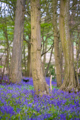 Classic carpet of English Bluebells on the trail in Hertfordshire woods