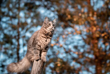 Cute Gray Cat Climbed On A Log While Walking And Looks Into The Distance