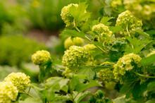 Blooming Bush Of Viburnum Boulle-de-neig