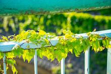 欄干の間に繁る新緑のツタ