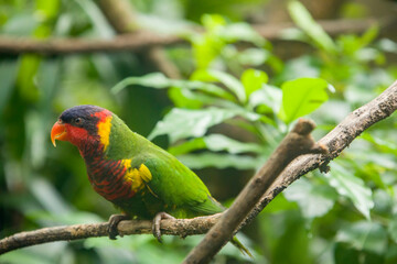The ornate lorikeet (Trichoglossus ornatus) is a species of parrot in the family Psittaculidae. It is endemic to the Sulawesi archipelago in Indonesia. It is found in forest, woodland, mangrove.