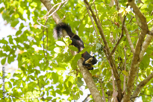 Fototapeta premium Black giant squirrel, Khaoyai National Park, Thailand